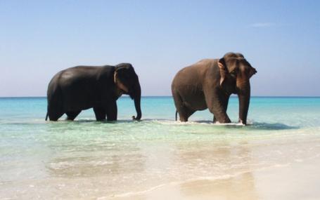 Фото Слоны выходят из моря (© StepUp), добавлено: 27.02.2012 09:53