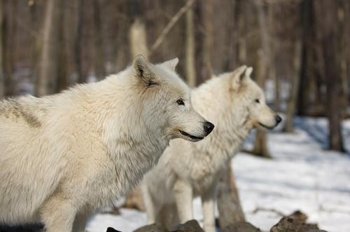 Фото Два белых волка в лесу