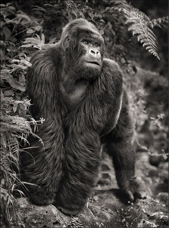 Фото Горилла в тропических зарослях (Фотограф - Nick Brandt) (© Malenkoe 4ydo), добавлено: 01.03.2012 12:26