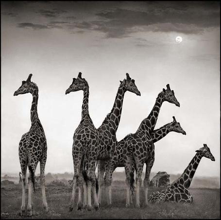 Фото Жирафы на отдыхе (Фотограф - Nick Brandt) (© Malenkoe 4ydo), добавлено: 01.03.2012 12:30