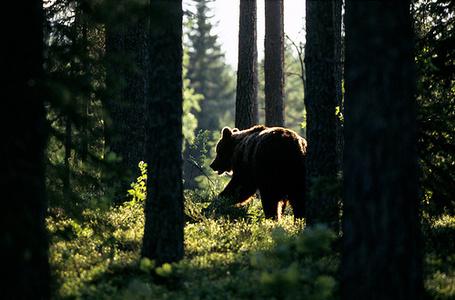 Фото Медведь в лесу среди деревьев (© StepUp), добавлено: 01.03.2012 17:28