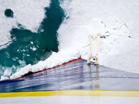 Фото Белый медведь в Норвегии / Norway, National Geographic 2011