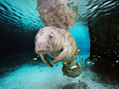 Фото Ламантин плавающий в водах Флориды / Florida, National Geographic 2011 (© Radieschen), добавлено: 02.03.2012 16:29