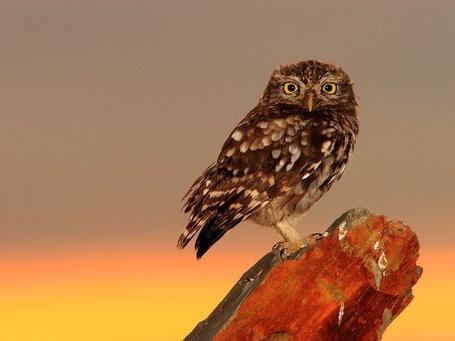 Фото Сова из Испании / Spain, National Geographic 2011