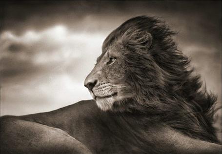 Фото Лев - Король зверей (Фотограф - Nick Brandt) (© Malenkoe 4ydo), добавлено: 02.03.2012 18:41