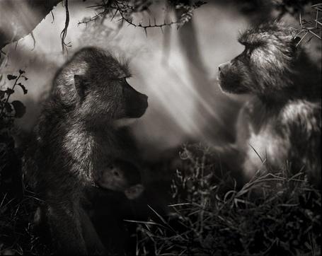 Фото Семья бабуинов в тени деревьев (Фотограф - Nick Brandt) (© Malenkoe 4ydo), добавлено: 02.03.2012 18:51