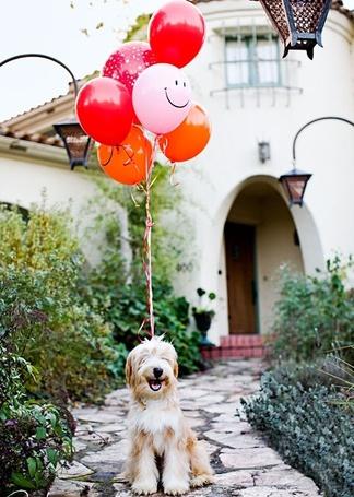 Фото Собака с шариками