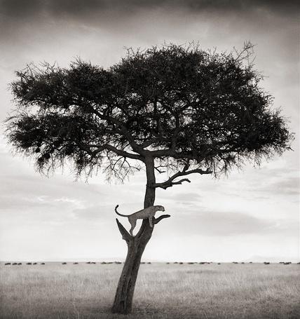 Фото Гепард, который умеет отлично лазить по деревьям (Фотограф - Nick Brandt) (© Malenkoe 4ydo), добавлено: 03.03.2012 07:23