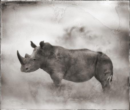 Фото Носорог в тумане (Фотограф - Nick Brandt) (© Malenkoe 4ydo), добавлено: 03.03.2012 07:30