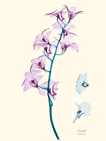 Фото Orchid / Орхидея, Сингапурский фотограф Брендан Фитцпатрик / Brendan Fitzpatrick, фотографии цветов в рентгеновских лучах
