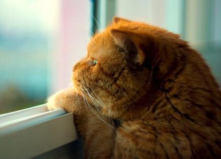 Фото Рыжий кот выглядывает в окно (© ColniwKo), добавлено: 06.03.2012 16:10