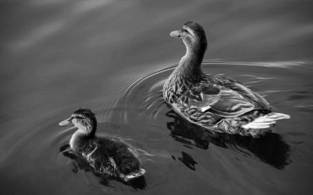 Фото Уточки в пруду (© Malenkoe 4ydo), добавлено: 07.03.2012 11:29