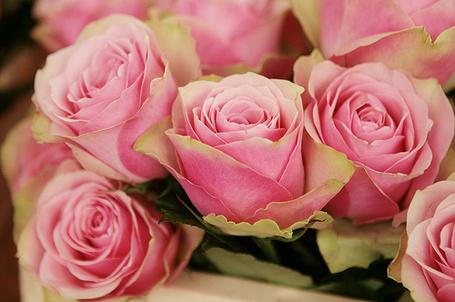 Фото Розовые розы (© Феминистка), добавлено: 08.03.2012 23:18