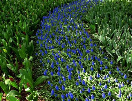 Фото Маленькие синие цветочки и тюльпаны (© Капитошка), добавлено: 09.03.2012 04:31