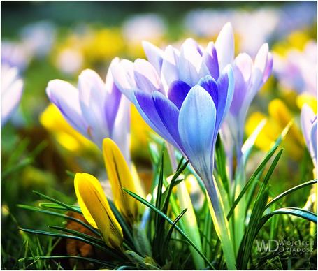 Фото Разноцветные крокусы (© Штушка), добавлено: 09.03.2012 16:07