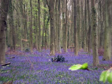 Фото Поляна синих цветов в лесу (© Штушка), добавлено: 09.03.2012 16:09
