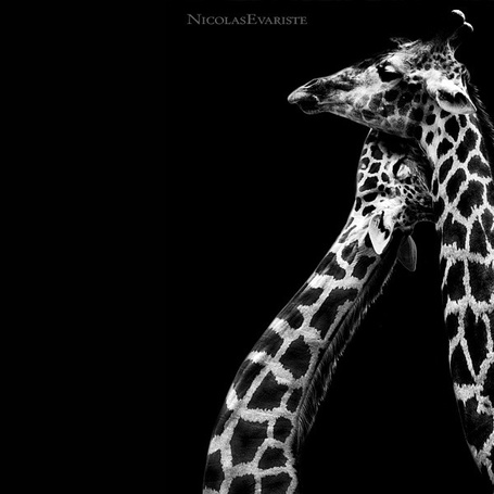 Фото Поцелуй жирафов, фотограф - Nicolas Evariste