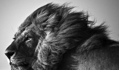 Фото Недовольный лев, фотограф-анималист - Laurent Baheux (© Malenkoe 4ydo), добавлено: 13.03.2012 06:34