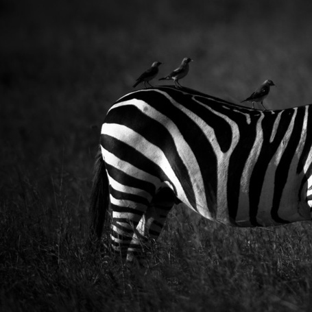 Фото Птички, присевшие отдохнуть на зебру, фотограф-анималист - Laurent Baheux (© Malenkoe 4ydo), добавлено: 13.03.2012 06:39