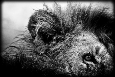 Фото Острый глаз и чуткий слух льва, фотограф-анималист -Laurent Baheux