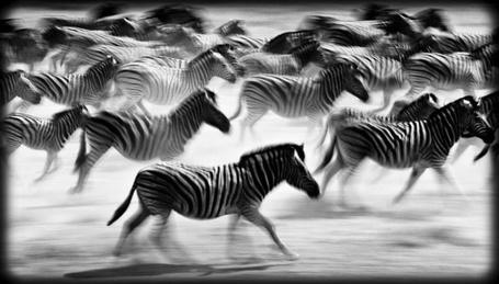 Фото Стадо зебр, неумолимо стремящихся вдаль, фотограф-анималист - Laurent Baheux (© Malenkoe 4ydo), добавлено: 14.03.2012 09:05