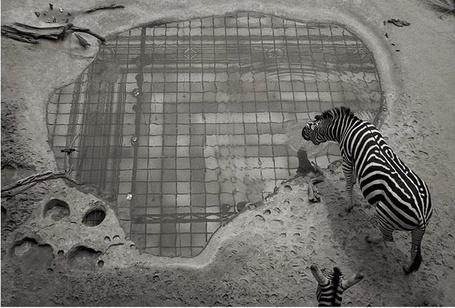 Фото Зебра пьёт воду из клетчатой лужи