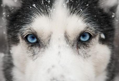Фото Глаза волка
