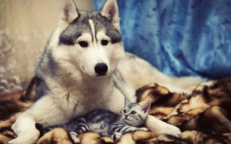 Фото Хаски с котенком (© Julia_57), добавлено: 19.03.2012 15:48
