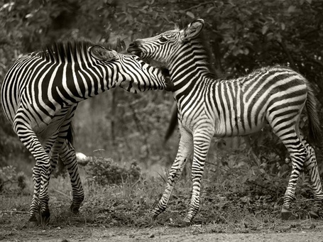 Фото Знакомство зебр (© Malenkoe 4ydo), добавлено: 20.03.2012 19:05