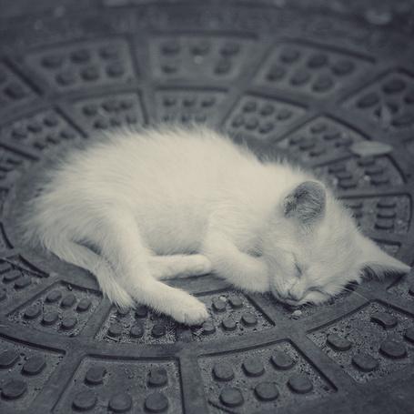 Фото Спящий белый котёнок, фотограф - Nick Lisitsin (© Malenkoe 4ydo), добавлено: 22.03.2012 11:55
