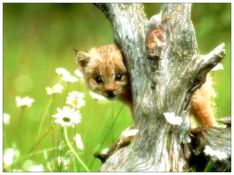 Фото Дикая кошка Lynx Cub  (© Флориссия), добавлено: 22.03.2012 13:32