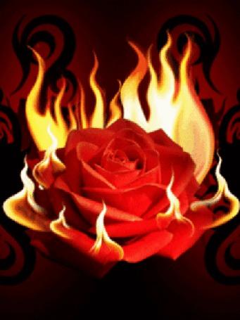Фото Пылающая огнем красная роза (© Morena), добавлено: 23.03.2012 09:22