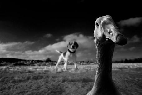 Фото Гусь, смотрящий на нас с любопытством (© Malenkoe 4ydo), добавлено: 27.03.2012 19:06
