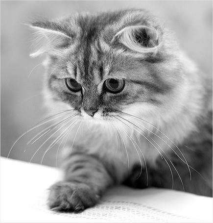 Фото Усатый кот протянул вперёд свою лапку