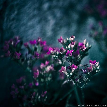 Фото Маленькие фиолетовые цветы, фотограф Guido Tamburro (© Radieschen), добавлено: 29.03.2012 14:34