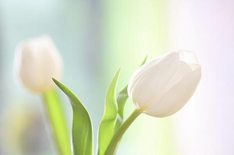 Фото Белые тюльпаны (© StepUp), добавлено: 30.03.2012 09:20