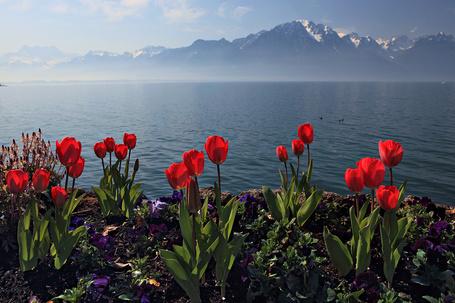 Фото Красные цветущие тюльпаны на самом берегу моря (© Morena), добавлено: 06.04.2012 14:52