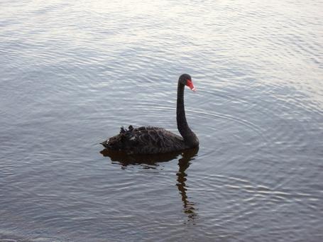 Фото Черный лебедь на пруду