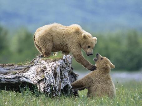 Фото Медвежата выясняют отношения (© Anatol), добавлено: 09.04.2012 00:27