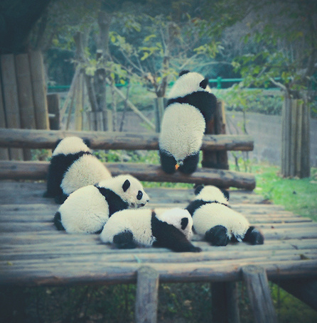 Фото Пять милых панд (© lemon), добавлено: 09.04.2012 23:32