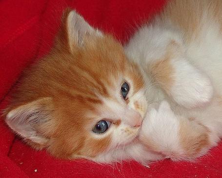 Фото Милый котик лёжа на красном покрывале грызёт лапу (© Штушка), добавлено: 14.04.2012 01:21