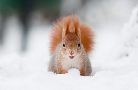 Фото Белка на снегу (© Феминистка), добавлено: 15.04.2012 16:46