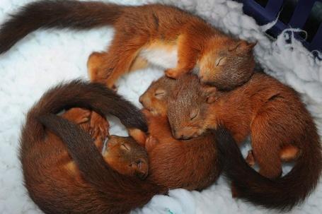 Фото Спящие бельчата (© Krista Zarubin), добавлено: 16.04.2012 15:23