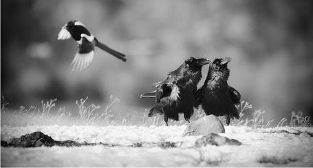 Фото Два ворона смотрят в небо, фотограф - Татьяна Жеребцова (© Malenkoe 4ydo), добавлено: 17.04.2012 19:35