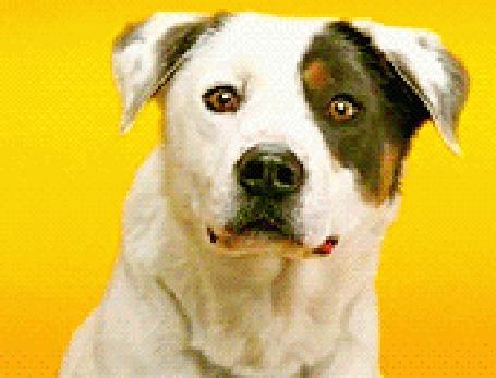 Фото Улыбающаяся собака (© pomawka811), добавлено: 17.04.2012 23:45