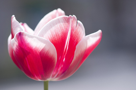 Фото Розовый тюльпан (© StepUp), добавлено: 22.04.2012 20:58