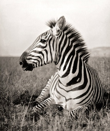 зебра эротические фото