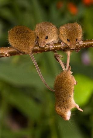 Фото Три мыши на ветке, четвертая висит на их хвостах, фотографы Жан-Луи Клейн / Jean-Louis Klein и Мари-Люк Хьюбер / Marie-Luce Hubert, жизнь полевых мышей (© Radieschen), добавлено: 28.04.2012 08:56