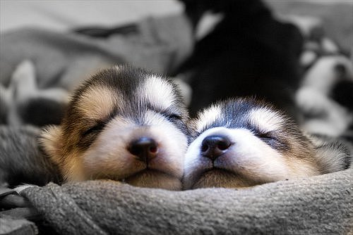 Фото милые собачки щенки хаски