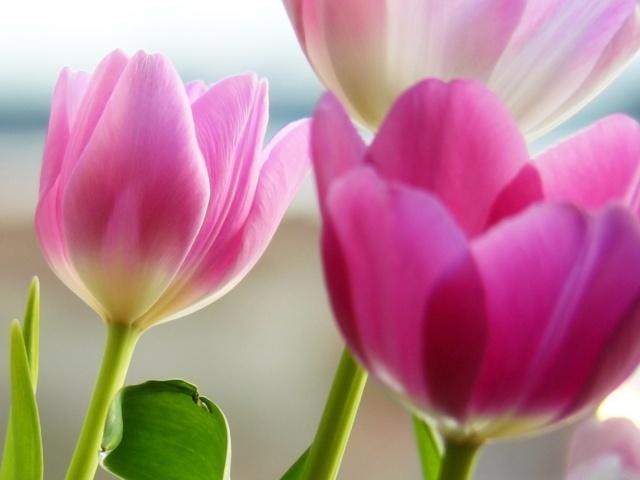 Фото Нежные тюльпаны